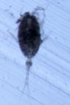 Conaea rapax