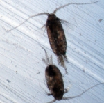 Scolecithricella minor M