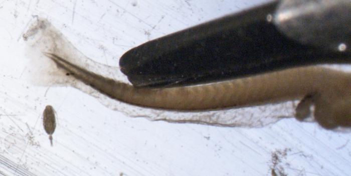 Sebastes fasciatus larvae
