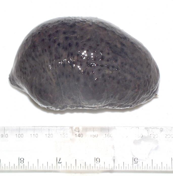Holothuroidea