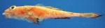 Callionymus agassizi