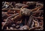 Chionoecetes opilio - snow crabs