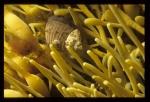 Littorina littorea - periwinkles