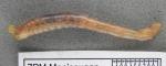 Anobothrus gracilis - dry