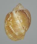 Holotype (dorsal)