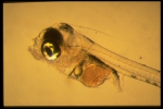 Scomber scombrus - larva