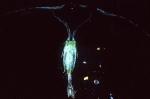 Anomalocera opalus