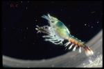 Homarus americanus - larva
