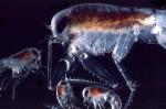 Themisto libellula
