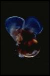Limacina helicina