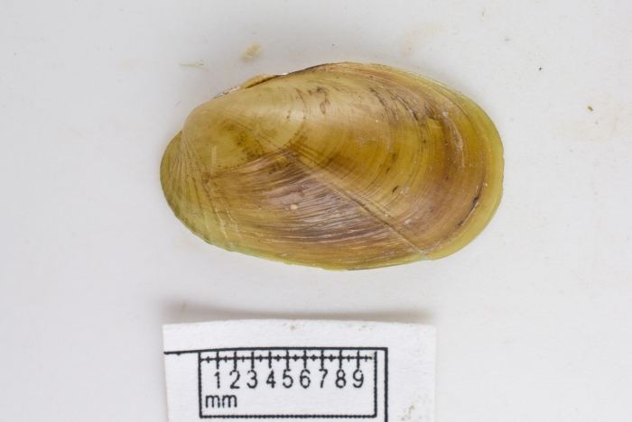 Musculus discors (small)