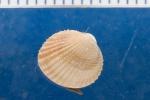 Cerastoderma pinnulatum
