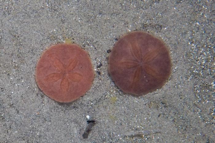 Echinarachnius parma on sand