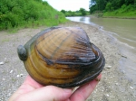 Pocketbook clam with zebra mussel attached