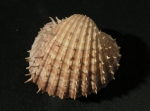Acanthocardia aculeata