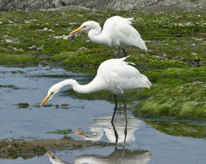 Great Egret - pair