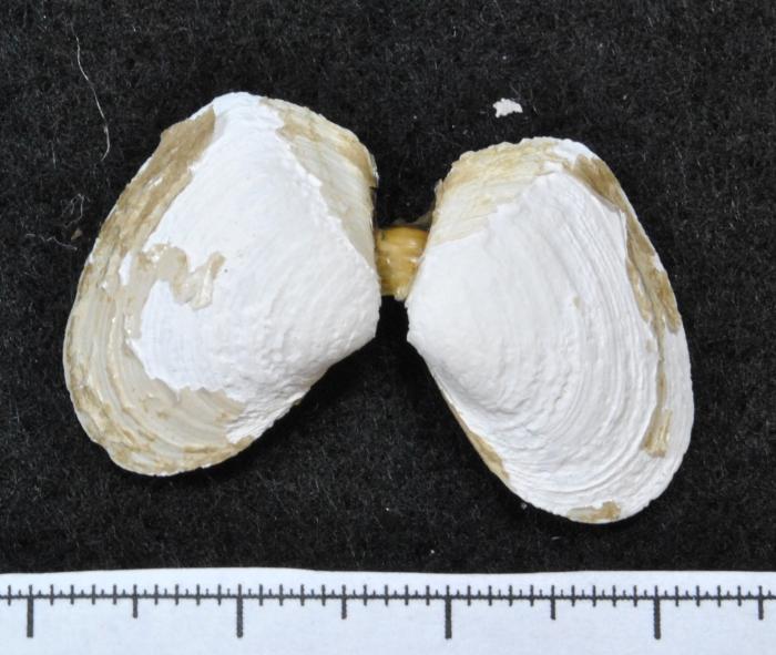 Thracia septentrionalis