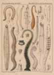 Van Beneden & Hesse (1864, pl. 01)