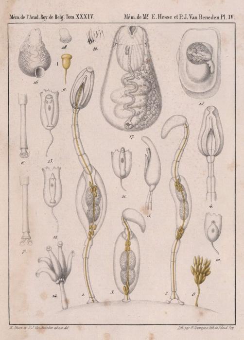 Van Beneden & Hesse (1864, pl. 04)