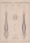 Van Beneden & Hesse (1864, pl. 07 bis)