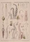 Van Beneden & Hesse (1864, pl. 08)