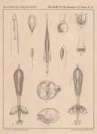 Van Beneden & Hesse (1864, pl. 10)