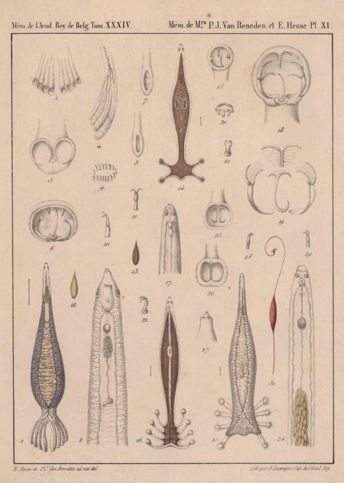 Van Beneden & Hesse (1864, pl. 11)