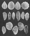 Foraminifera - Plate 6 - Glandulinidae, Turrilinidae, Bolivinitidae, Uvigerinidae, Nonionidae, Robertinidae, Caucasinidae