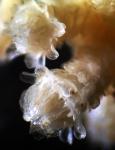 Octocorallia