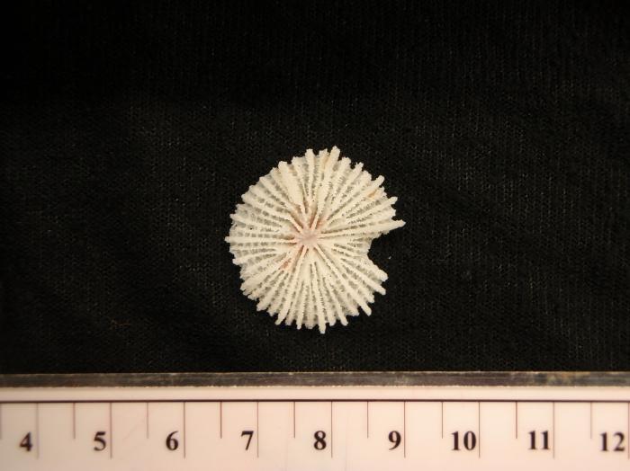 Fungiacyathus cf. marenzelleri
