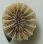 Caryophyllia (Caryophyllia) ambrosia