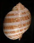 Holotype MNHN 4260