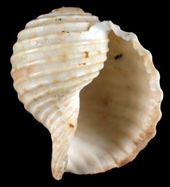 Holotype MNHN 2416