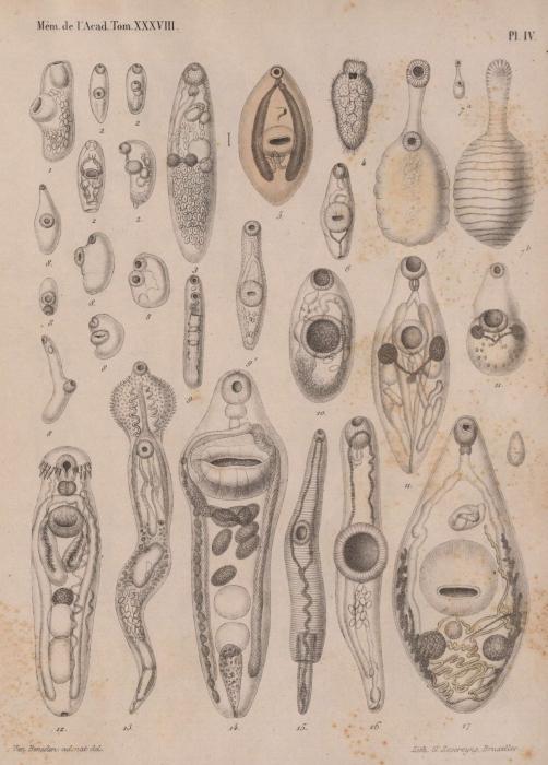 Van Beneden (1871, pl. 4)