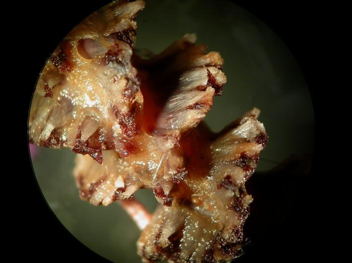 Halipteris finmarchica