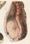 Amphimedon compressa Duchassaing & Michelotti, 1864 orig.