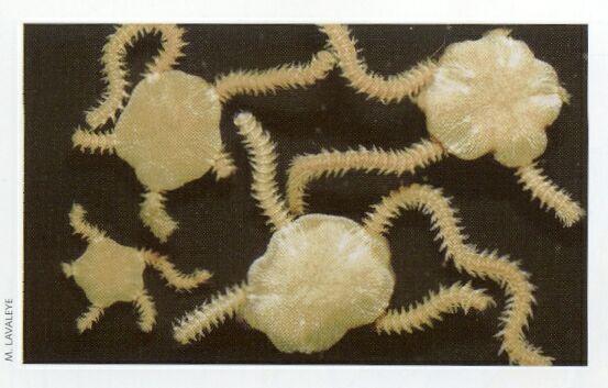 Picture of Amphiura filiformis