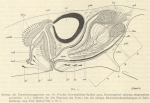 Platyhelminthes (flatworms)