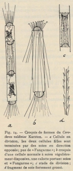 De Wildeman (1935, fig. 14)
