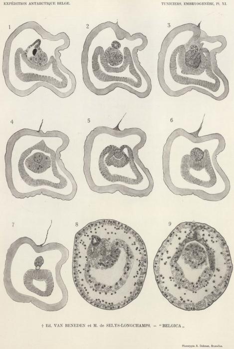 Van Beneden, de Selys Longchamps (1940, pl. 11)