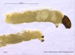 Telmatogeton japonicus larva