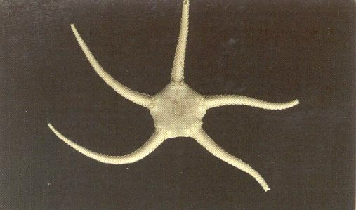 Ophiura albida