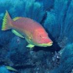 Algae and Bodianus scrofa at Dollabarat reef.