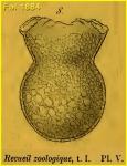 Codonaria cistellula