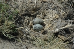 Kelp Gull Nest with Eggs