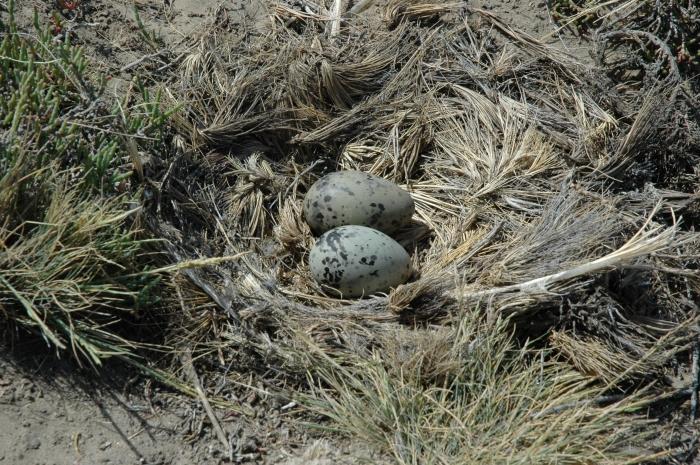 Kelp Gull Nest with Eggs