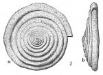 Ammodiscus catinus