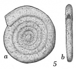 Ammodiscus minimus