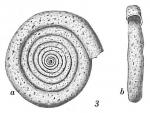 Ammodiscus planus