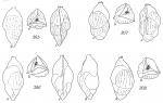 Angulogerina angulosa